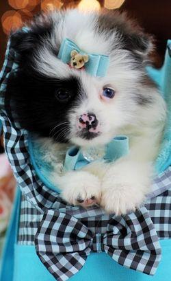 Seltener blauer Merle Pomeranian MIT BLAUEN AUGEN! Rufen Sie 954-353-7864 an oder besuchen Sie www.teacup …   – Mirage Pet Ties and Grooming Products for Your Pet