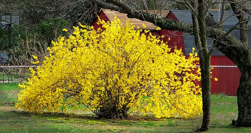 If I have ONE ornamental plant on my property, it will be Forsythia...