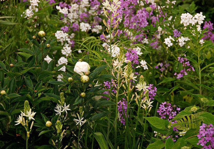 Paeonia, Camassia and Hesperis