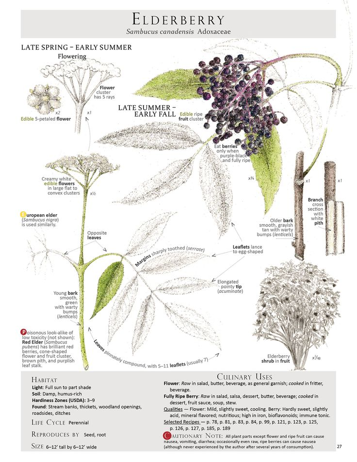 Elderberry identification page from our Foraging & Feasting: A Field Guide and Wild Food Cookbook by Dina Falconi; illustrated by Wendy Hollender. Book link: http://bit.ly/1Auh44Q