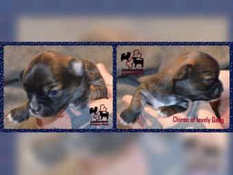 4 Wunderschöne Chihuahua Welpen suchen liebevolles ZUHAUSE.