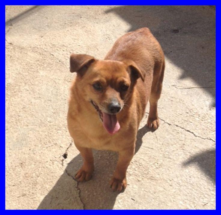 PANCHO fantastico cagnolino dal carattere d'oro - http://hormiga.it/pancho-fantastico-cagnolino-dal-carattere-doro/ Adoption, Adozioni Cani, Canili Gattili Rifugi, STALLI, Volontari da aiutare
