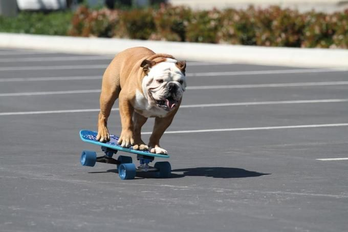 Tillman the Skateboarding Bulldog | Know Your Meme