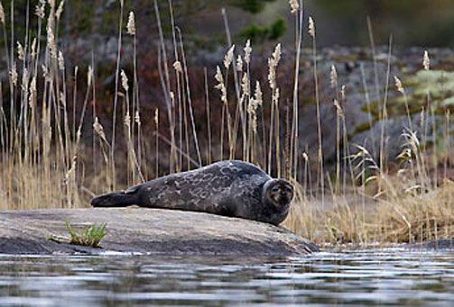 Saimaa Ringed Seal #saimaannorppa, Savonlinna, Finland. Picture: Ilpo Aalto