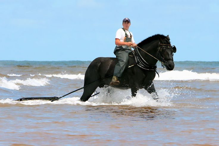 The Seafaring Draft Horses of Prince Edward Island