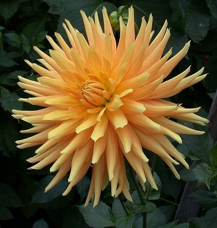 Dahlia 'Gold Crown'<<<<<<< http://www.pinterest.com/bubble444/flowerslove-them/