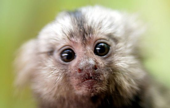 Monkey in your face: Baby Monkey, Face, Pets Animals, Adorable Animals, Adorable Marmosets, Baby Animals, Amazing Animals, Animal Photos