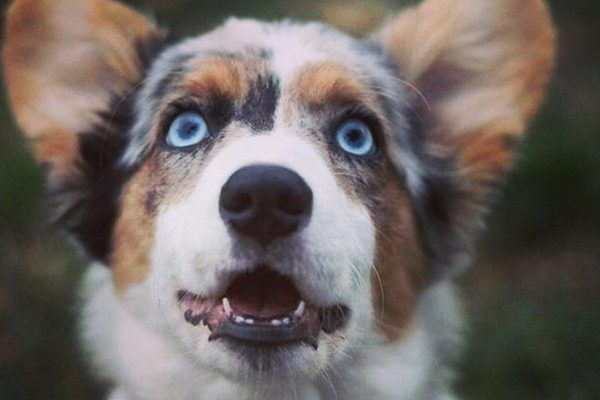While Dogs Mostly Come With Dark Or Brown Eyes It Is Not Rare To See Different Eye Colors In Different Breeds Some Dogs Als In 2020 Blue Eyed Dog Brown Dog