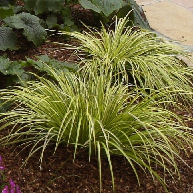 Variegated Sweet Flag Grass (perennial):  Planted in West Garden