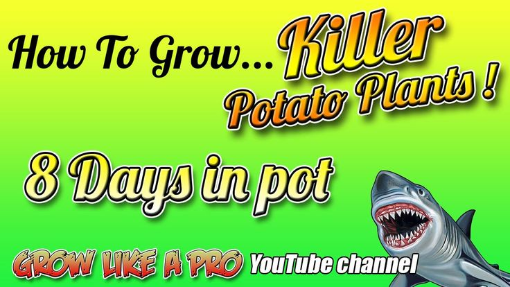 How To Grow A Potato Plant In A Pot   Update 2 - Day 8