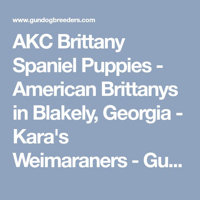 AKC Brittany Spaniel Puppies - American Brittanys in Blakely, Georgia - Kara's Weimaraners - Gun Dog Breeders Classified Ads