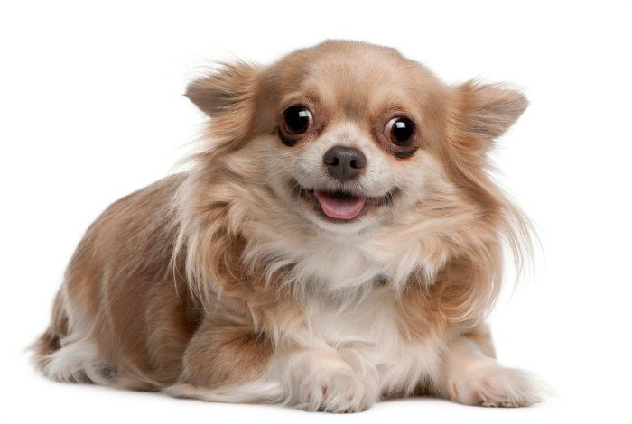 What You Need For A Senior Chihuahua Chihuahua Puppies Cute Dogs Chihuahua