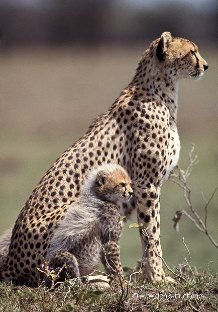 Africa | Cheetah mother and 7 month old cub. Masai Mara National Park, Kenya | ©Christine and Michel Denis Huot
