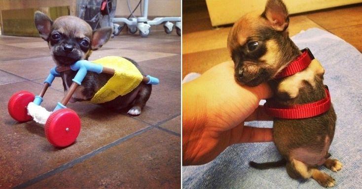 O cãozinho Turbo, um chihuahua que nasceu sem as duas patas dianteiras, consegue andar com uma espécie de prótese feita com partes de um kit de helicóptero de brinquedo. A ideia foi de uma equipe de veterinários de Indianápolis (EUA). A veterinária Amy Birk diz que a peça permite que Turbo exercite as patas traseiras como parte de sua fisioterapia. O cãozinho já tem até Instagram (http://instagram.com/turbo.rooo)