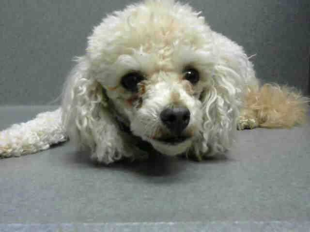 ~ Animal ID #A448885 *** 8 Year Old SENIOR ALERT!!! *** ‒ I am a Female (Spayed), White Miniature Poodle mix. The shelter thinks I am about 8 years old. I have been at the shelter since May 07, 2015 available for adoption on May 14, 2015 at 12:01PM. Moreno Valley Animal Services ‒ (951) 413-3790 14041 Elsworth Street Moreno Valley, CA Fax: (951) 413-3769 https://www.facebook.com/OPCA.Shelter.Network.Alliance/photos/pb.481296865284684.-2207520000.1431165978./819135518167482/?type=3&theater