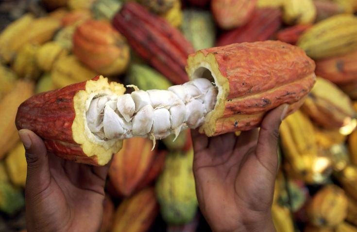 Bio Organic Cacao Pods The Trinitario tree Bio Organic Cacao Pods The Trinitario tree  2-3 Pod 850g-990g US$ 40 incl shipping