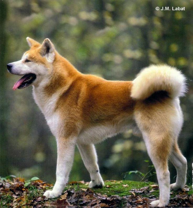 Infos pratiques sur l'Akita Inu : caractère, compo...