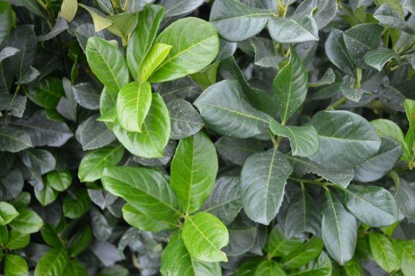 Kirschlorbeer Etna  Der Prunus laurocerasus 'Etna' (Kirschlorbeer Etna) ist eine starke, kompakte Pflanze mit tiefgrünen, glänzenden Blättern. Diese Pflanze unterscheidet sich vom Prunus laurocerasus 'Rotundifolia' (Großblättriger Kirschlorbeer) durch ihren kompakteren Wuchs und die rote Farbe der Blätter an jungen Trieben.  Der Kirschlorbeer Etna ist winterhart und die Blüte ist unauffällig.