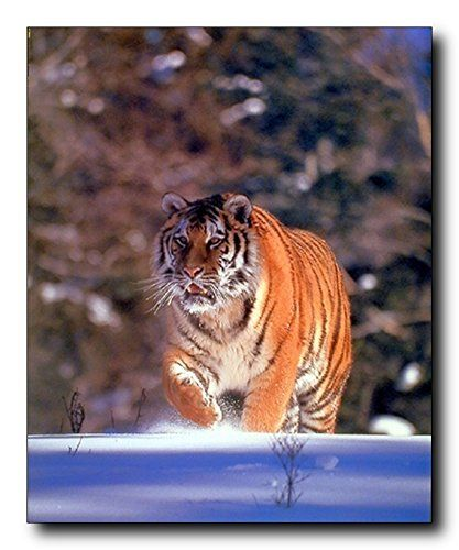 This Siberian Tiger art print poster celebrates the beauty of wild life animals. It will be a stunning and elegant addition and bring a touch of humor to your home. This wall poster depicts the image of Siberian Tiger walking in a snow field is sure to grab lot of attention. Siberian Tigers are renowned for their power and strength. Tigers live alone and aggressively scent-mark large territories to keep their rivals away.