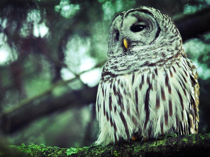 owlForests,  Great Gray Owls, Nature, Great Grey Owls, Owls Wallpapers, Beautiful Birds,  Strix Nebulosas, Animal, Vintage Chanel