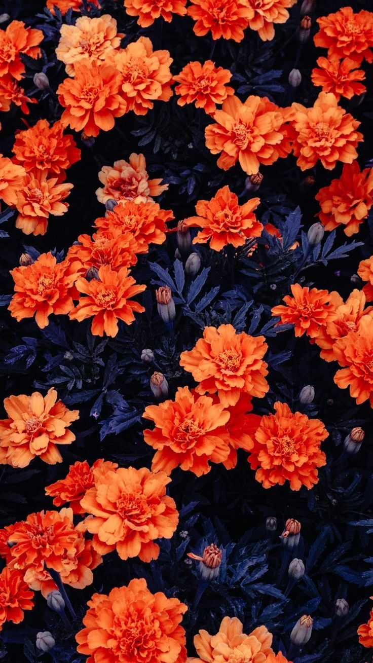 Orange Flowers Garden Free 4K Ultra HD Mobile Wallpaper