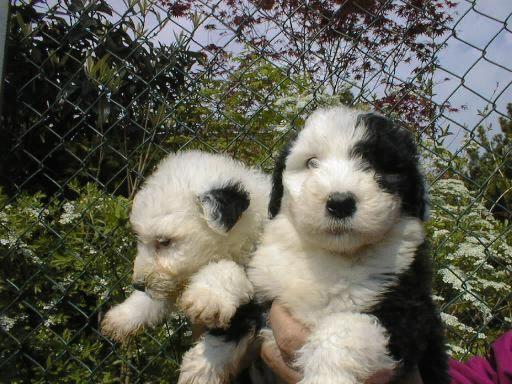 Raza de perros: Bobtail - http://www.mundoperros.es/raza-de-perros-bobtail/
