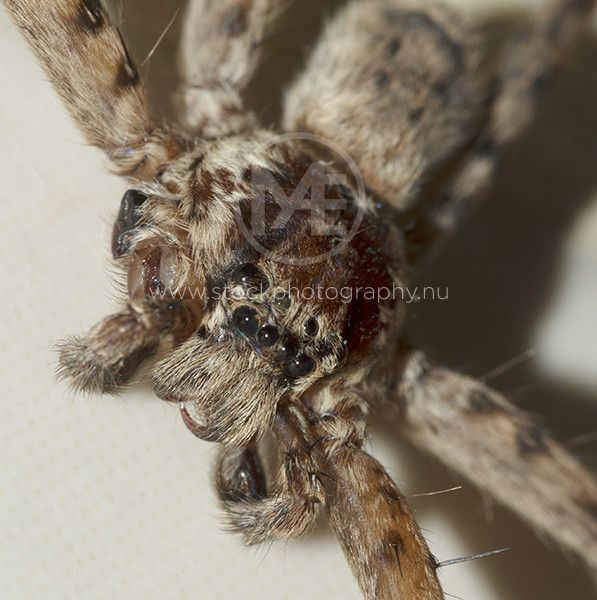 Close-up of a brown huntsman spider  © Arno Enzerink / www.stockphotography.com All rights reserved.