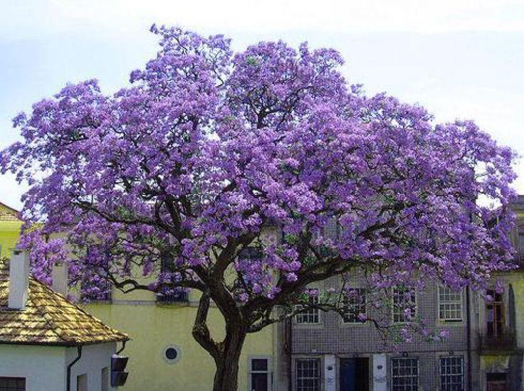 PAULOWNIA TOMENTOSA (500, 1000, 5000 SEEDS) in Garden & Patio, Plants, Seeds & Bulbs, Plants & Seedlings | eBay