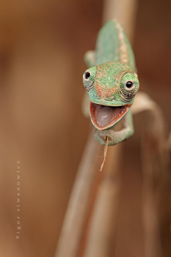 SMiling Baby Chameleon on http://www.drlima.net