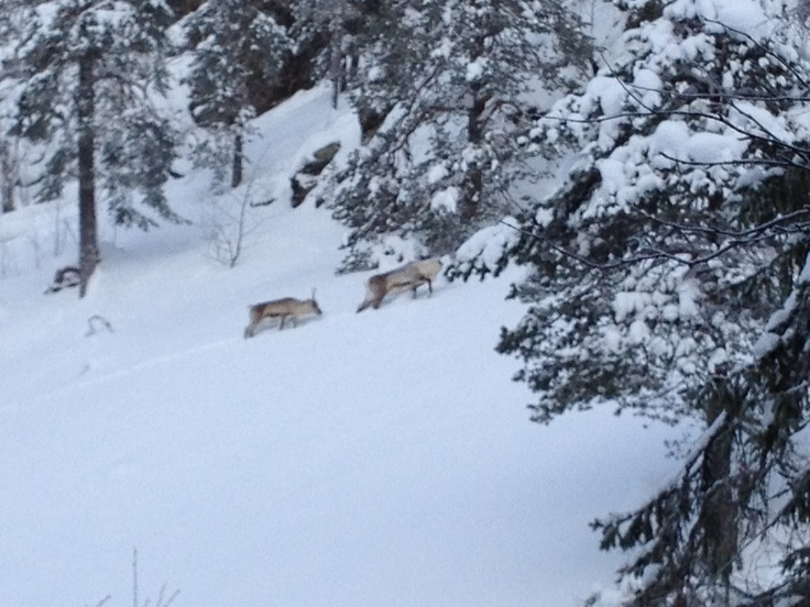 Reindeer searching food on the slopes of the Isokuru gorge in Pyhä-Luosto national Park