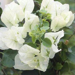 Bougainvillea White; http://www.guardiangardencentre.co.uk/plant-0004351-h-1/bougainvillea-white/