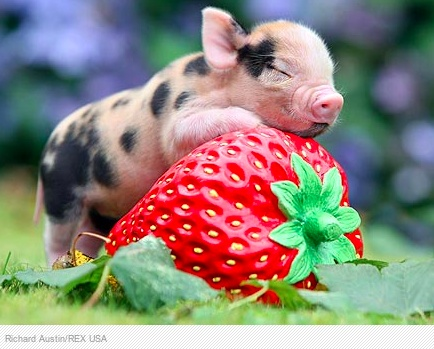 micropig and a strawberry so tinylove animals