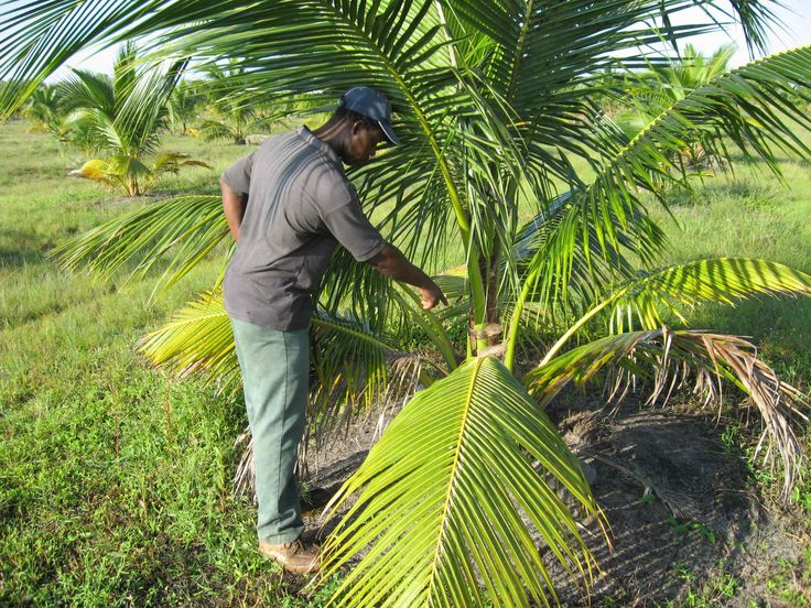 RodLa Construction LTD. Coconut Farming Is Something That We Are Exploring Here At RodLa Construction.