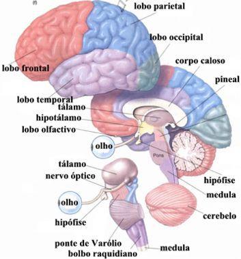 sistema nervoso cerebral