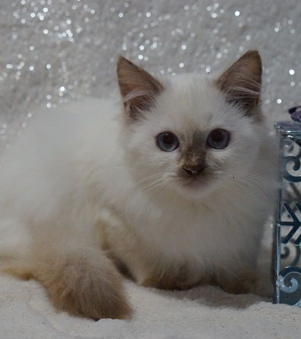 Usa Ragdolls Small Registered Cattery With Doll Faced Beauties And Floppy Puppy Like Ragdoll Personalities At A Ragdoll Kitten Ragdoll Kittens For Sale Kittens