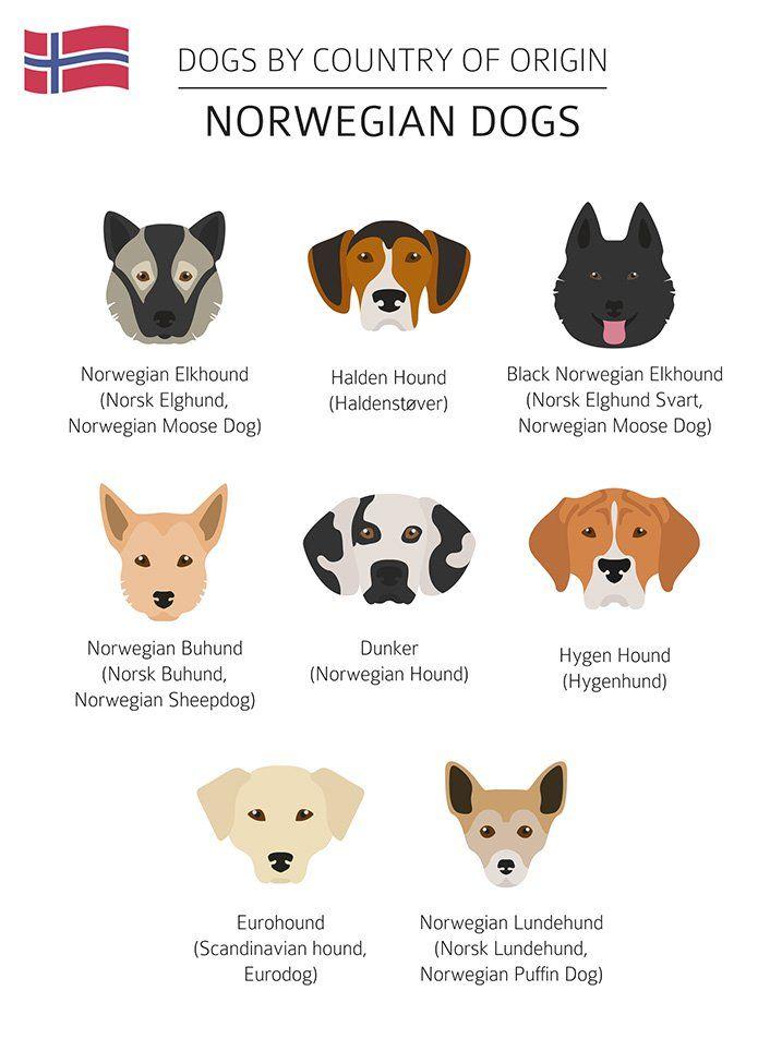 Norwegian Elkhound The National Dog Of Norway Pets Dogs Breeds Norwegian Elkhound Dog Breeds