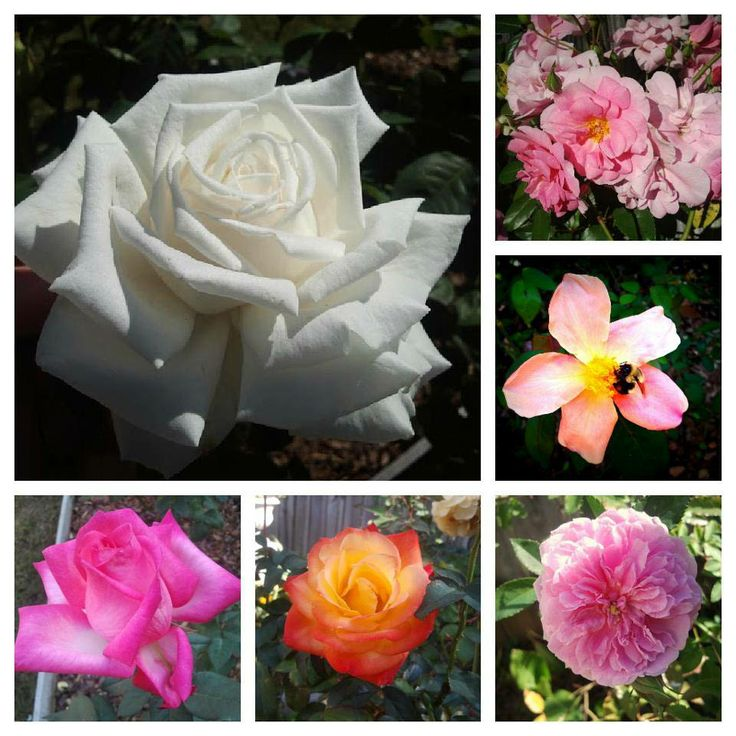 How To Plant Roses Correctly for the Beginner