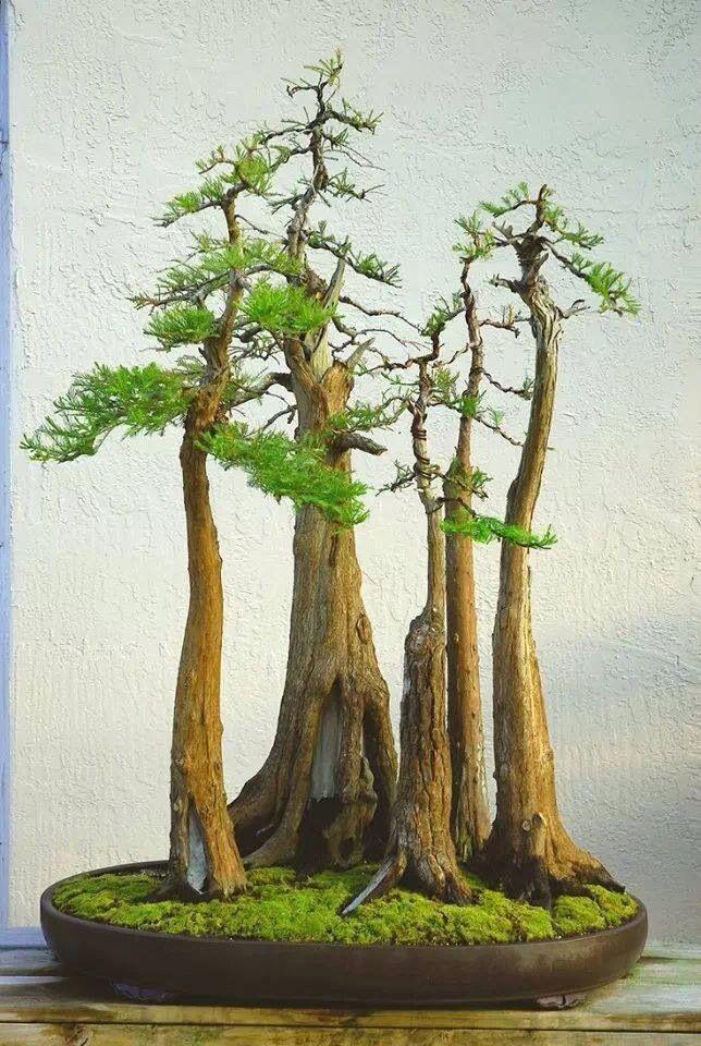 Bonsai-cypress trees