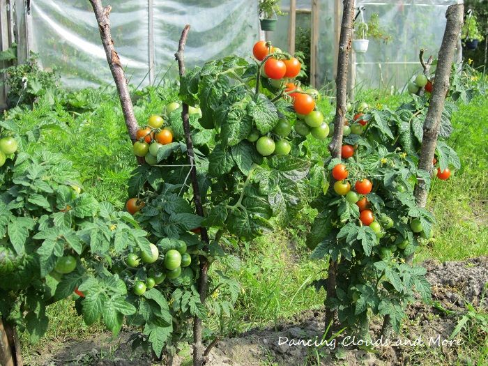 Tomatoes growing in the field.