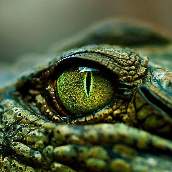 amazing alligator eye