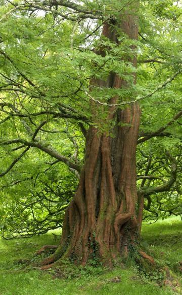 Der Urweltmammutbaum (Metasequoia glyptostroboides, links) wird zwar sehr groß, bleibt dabei aber recht schmal und bildet einen malerisch zerfurchten Stamm mit rötlicher Rinde. Die Sicheltanne (Cryptomeria japonica, rechts) ist ebenfalls eine gute Wahl für Koniferenfans, die einen schnellwachsenden Baum für die Einzelstellung suchen