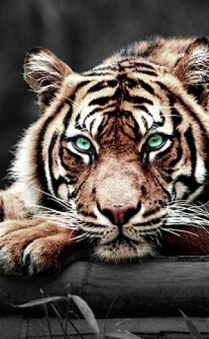 Tendance Joaillerie 2017 Tigre aux yeux émeraudes