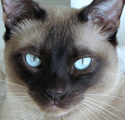 Tonkinese Cat- we had 3 growing up. So beautiful and very social/ cool breed.