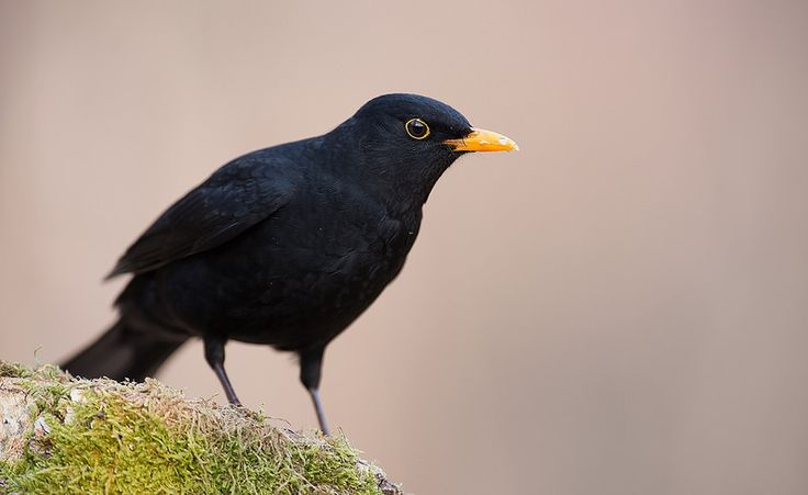 Common Blackbird, Norway | by janmangorfagerland