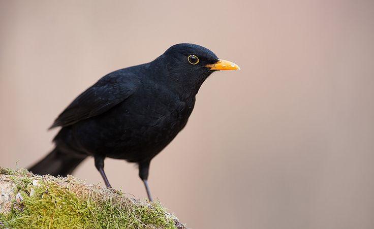 Common Blackbird, Norway | by janmangorfagerland