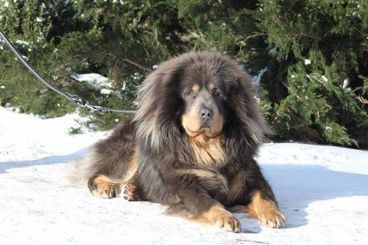 Tibetan Mastiff Dog sitting in the Snow