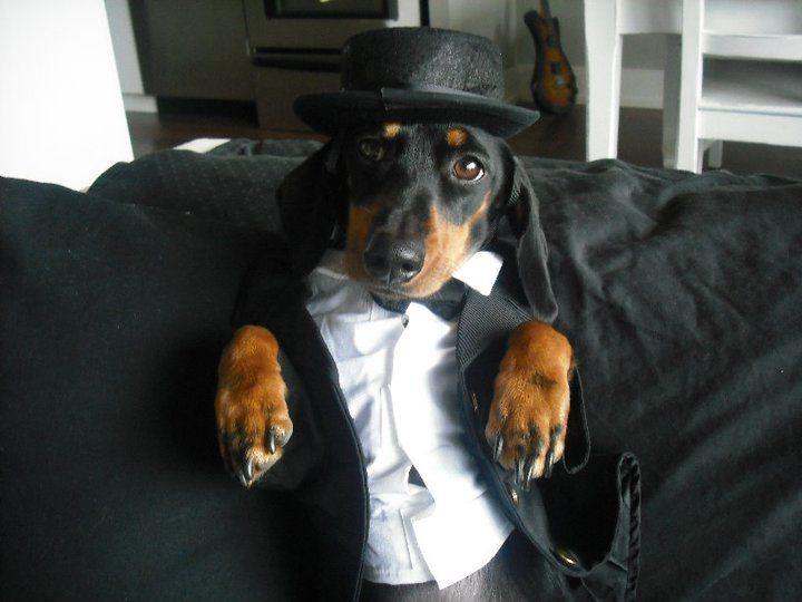 Fred Estaire Dachshund !!!Doggie, Things Dachshund, Art Handsome, Wiener, Wienier Doxielov, Dapper Dogs, Grooms, Dogs Life, Animal