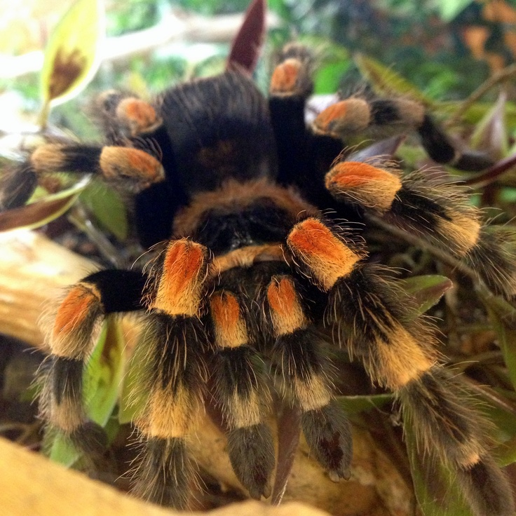 Our Mexican red knee tarantula