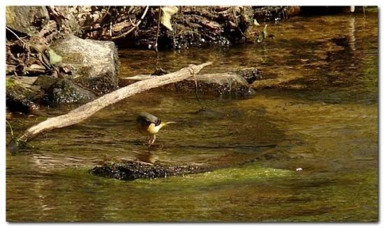 Bergeronnette des ruisseaux - naturepassion