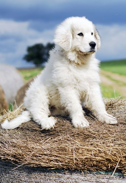 GREAT PRYNESS DOG PHOTO | great-pyrenees3.jpg - Great Pyrenees - Dog Breeds